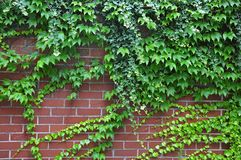 Brick wall with ivy and vine Royalty Free Stock Images