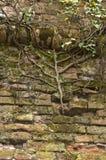 Brick wall and ivy. Stock Photos
