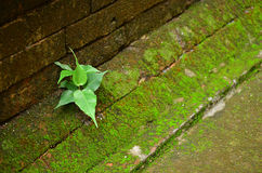 Brick wall with moss. Brick wall with moss and plant Royalty Free Stock Photo