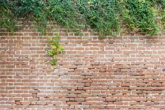 Brick Wall with Natural, Contrasting Hedge for Slide Titles with Protruding Shrub. A very old brick wall has a head of shrubbery on its head Stock Images