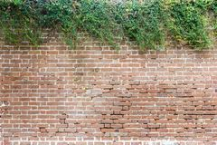 Brick Wall with Natural, Contrasting Hedge for Slide Titles. A very old brick wall has a head of shrubbery on its head Royalty Free Stock Image