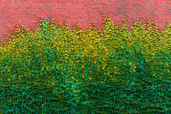 Brick wall overgrown with green ivy textures. Brick wall overgrown with green ivy Royalty Free Stock Image