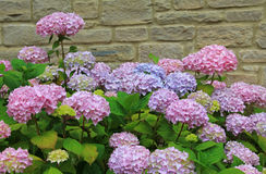 Brick wall and pink hydrangea Royalty Free Stock Photos