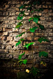 Brick wall plant Stock Images