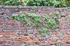 Brick Wall with Plant Royalty Free Stock Image
