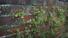 Brick Wall With Plants Growing On It. Slider shot moving slowly past a brick wall with plants growing stock video