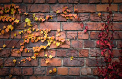 Brick wall with red and yellow autumnal leaves. Detailed brick wall background  texture with red and yellow autumnal leaves on it Royalty Free Stock Image