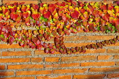 Autumn background. Brick wall and reddened ivy. Colored leaves in the sunset light Royalty Free Stock Photo