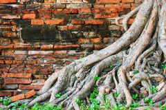 Brick wall with Roots Royalty Free Stock Images