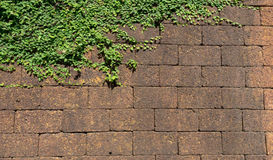 Brick wall with small fern leaves natural background. With sunlight Royalty Free Stock Images