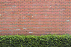 Brick wall texture background with green bush Royalty Free Stock Images