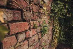 Brick wall texture background with moss growing in the cracks stock photography