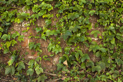 Brick wall texture covered with green ivy creeper Stock Photo