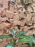 Brick wall texture. Green plant in front of red brick wall Stock Photography