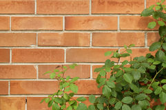 Brick wall texture with rose bush Stock Photo