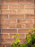 Brick wall texture with rose bush Royalty Free Stock Photo