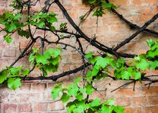 Brick wall with vine and green leaves of the grape Stock Images