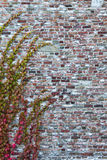 Brick wall with wild vine tendrils Stock Images
