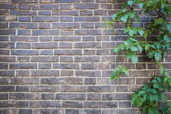 Free Brick Wall With Green Ivy Stock Photo - 55874710