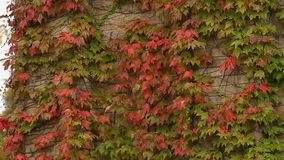 Brick walls covered with red and green ivy leaves, autumn in the city, park. Stock footage stock video footage