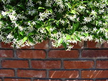 Bricks and Flowers. Jasmine and bricks combine to make a beautiful border for the front of a yard stock image