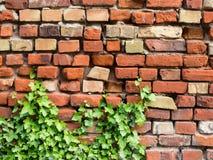 Brickwall που εισβάλλεται παλαιό με τις εγκαταστάσεις κισσών Στοκ Εικόνες