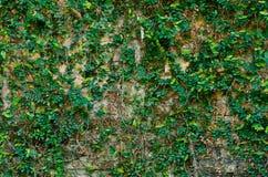 brickwall bluszcz Obrazy Stock