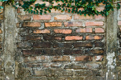 brickwall bluszcz Zdjęcie Royalty Free