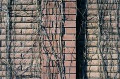 Brickwall dell'edera Fotografie Stock
