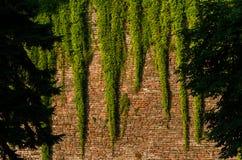 Brickwall med klättrareväxten Arkivfoton