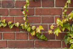 Brickwall overgrown. With ivy-plant stock images