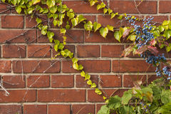 Brickwall overgrown. With ivy and Oregon-grape (Mahonia aquifolium royalty free stock photos
