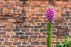 Brickwall in park. An ordinary brickwall and a flower in front of it Stock Image