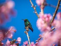 Brid del tarareo que descansa sobre un cerezo Imagen de archivo libre de regalías