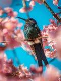 Brid del tarareo que descansa sobre un cerezo Imágenes de archivo libres de regalías
