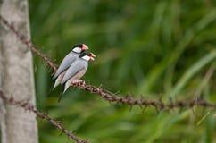 Brid della natura del passero di Java Fotografia Stock