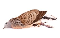 Brid morto della colomba su bianco Fotografia Stock Libera da Diritti