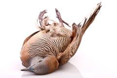Brid morto della colomba su bianco Fotografie Stock Libere da Diritti