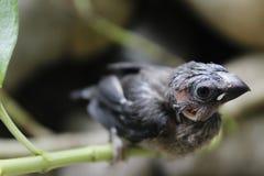 Brid Pipit Peking et x27 ; Punctulata& x27 de Lonchura ; Photo libre de droits