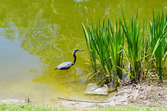 A brid in water Royalty Free Stock Photography