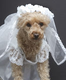 Bridal Babe. A poodle dressed up as a bride on her wedding day Royalty Free Stock Photos