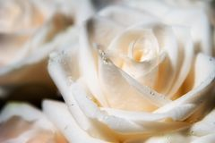 Bridal bouquet closeup. Bridal bouquet of white roses Stock Photography
