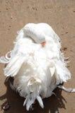 Bridal looking goose Stock Photo