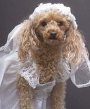 Bridal Portrait. A poodle dressed up as a bride, isolated on a gray background Stock Photo