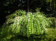 Bridal wianku Spirea masy biali kwiaty wzdłuż spadać kaskadą obfitolistne gałąź krzak przeciw ciemnemu lasowemu tłu w wiośnie zdjęcia stock