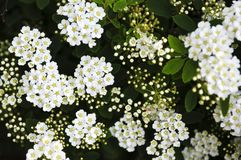 Bridal wreath shrub flowers Stock Photos