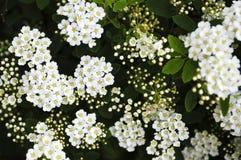 Bridal wreath shrub flowers Stock Photos