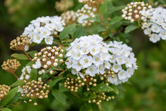 Bridal wreath shrub flowers Royalty Free Stock Photo