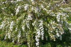 Bridal wreath shrub flowers. Closeup of flowering shrub bridal wreath spirea, floral background Royalty Free Stock Image