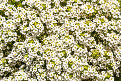 Bridal Wreath Spiraea Flowering Shrub. Bridal wreath spiraea Spiraea prunifolia `Plena`, an upright, medium-sized, clumping, deciduous shrub with arching royalty free stock photo